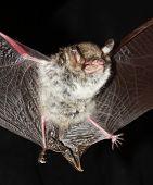 Natterers Bat  Open Wings On  Black poster