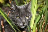 Domesticated grey cat pretending to be a wild jungle cat hunting through the brush. poster