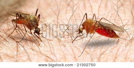 Anopheles mosquito - dangerous vehicle of infection. Close up with shallow DOF.