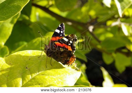 Red Admiral Butterfly 02
