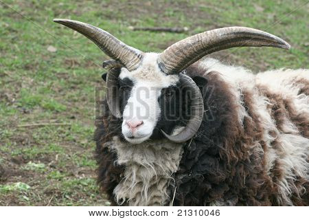 Four Horn Sheep