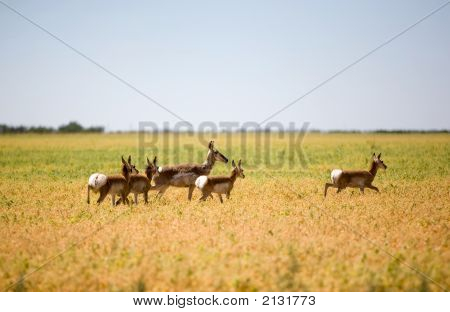 Pronghorn Antelope Family