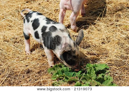 Spotted pig closeup