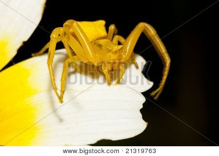 Yellow Crab Spider (thomisus Onustus)
