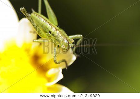 Katydid (odontura Glabricauda), Male Nymph