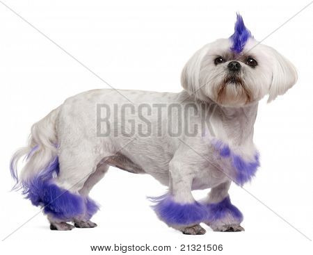 Shih Tzu with purple mohawk, 2 years old, standing in front of white background