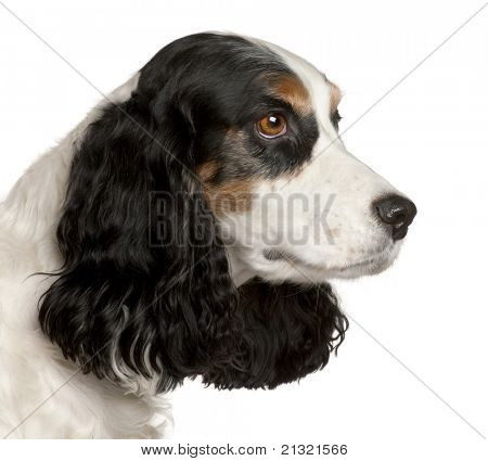 Close-up of English Cocker Spaniel, 6 years old, in front of white background