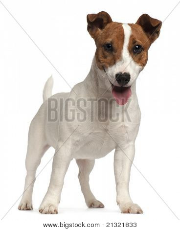 Jack Russell Terrier puppy, 6 months old, standing in front of white background