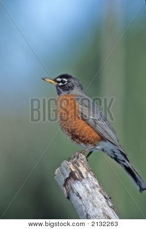 American Robin   021 J