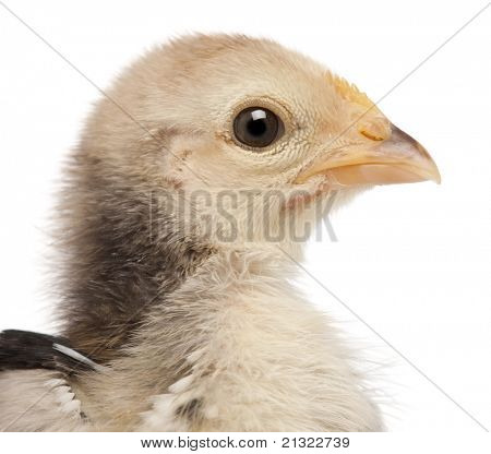 Close-up of Serama, Malay Ayam Serama, a bantam breed of chicken, 3 weeks old, in front of white background