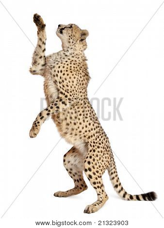 Cheetah, Acinonyx jubatus, 18 months old, standing up and reaching in front of white background