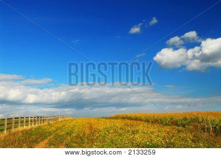 Corn And Soya Fields