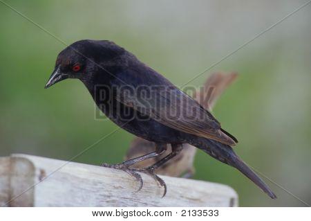 Bronzed Cowbird   002 J