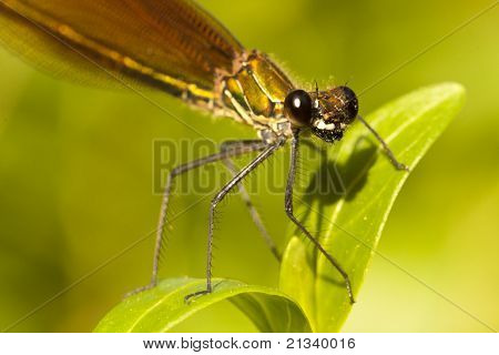 Copper Demoiselle Insect