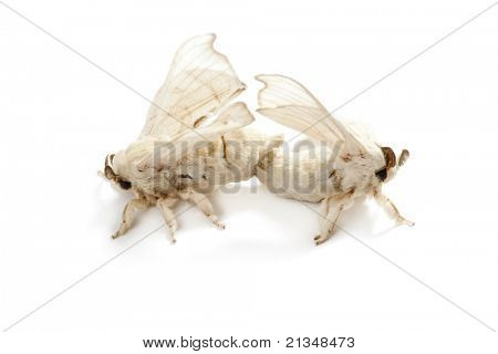 two silkworm butterflies mating for reproduction over white background