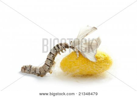 mariposa del gusano de seda con gusano de seda capullo mostrando las tres etapas de su vida