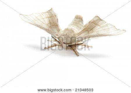 mariposa de la seda de gusano de seda del gusano aislada sobre fondo blanco