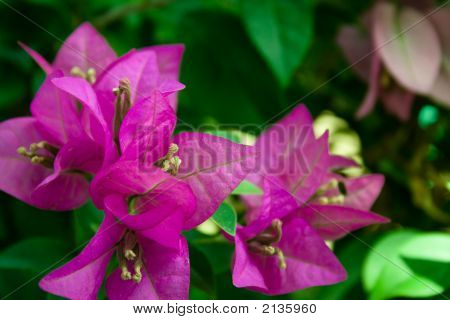 Beautiful Bougainvillea Glabra Chois In Purple Color