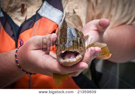 Straight On Close Up Of A Brown Trout After Being Caught