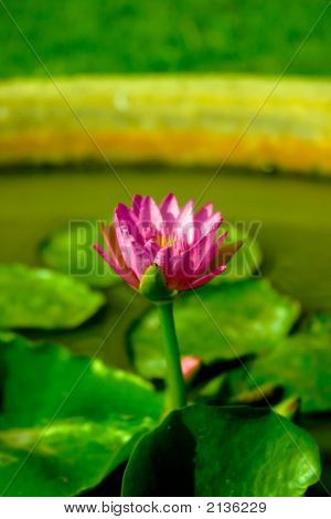 Waterlily Getting Blossom