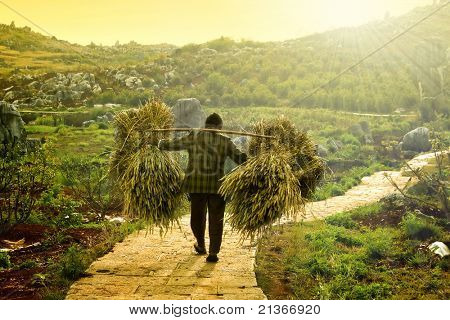 a farmer carrying dry wheat after harvesting