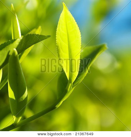Close up tea leaves with morning sunlight, Cameron Highland Malaysia.