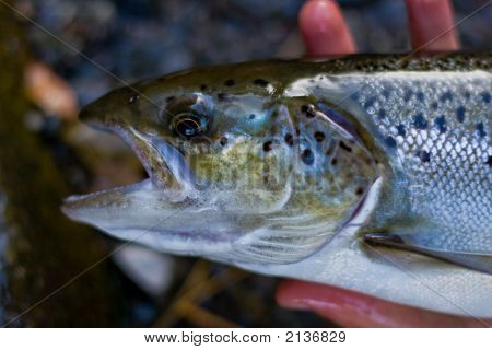 Vermont Landlocked Atlantic Salmon 3