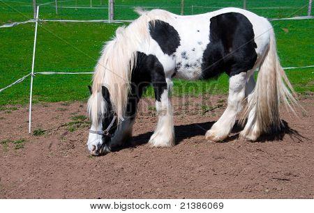 White-black Horse.