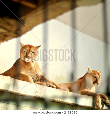 Two Caged Puma