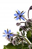 picture of borage  - Close up view of the Borage Flower  - JPG