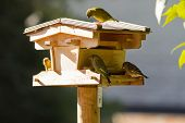 Wooden bird feeder with European Greenfinch bird in yellow green color perch on house, feeding on dr poster