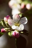 Spring Garden Of Flowering Apricots. Spring Blossom. Apricot Blossom Branch Close-up The Buds On The poster