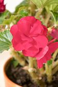 Tender Fresh Burgundy, Dark Begonia  Terry Flowers And Petals  Bush In A Tub On A Light Wooden Table poster