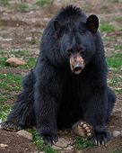 foto of bestiality  - A black bear is sitting and looking at the camera - JPG