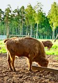 picture of aurochs  - big aurochs in wildlife sanctuary - JPG