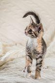 Lovely Colorful Kitten Walks On Knitted Blanket poster