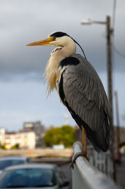 pic of claddagh  - grey heron on the railings in Claddagh Galway - JPG