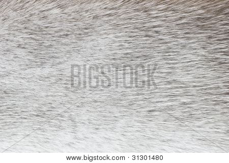 Abstract Light Gray Polar Fox Fur Background (texture)