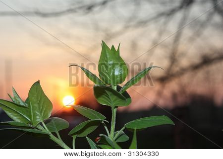 A Plant Waking up at Sunrise