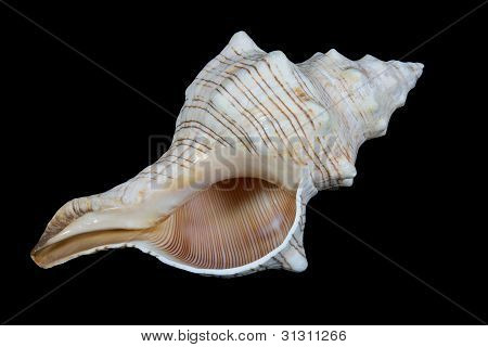 Isolated conch shell on black background