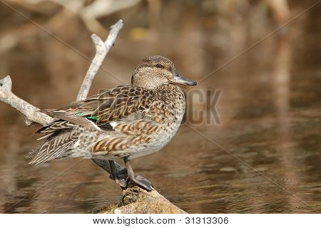 Female Green-winged Teal - Everglades National Park, Florida