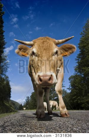 Cow On The Road