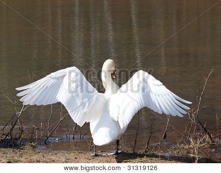 Estirar sus alas de cisne