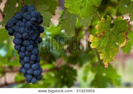 Ripe Red Wine Grapes