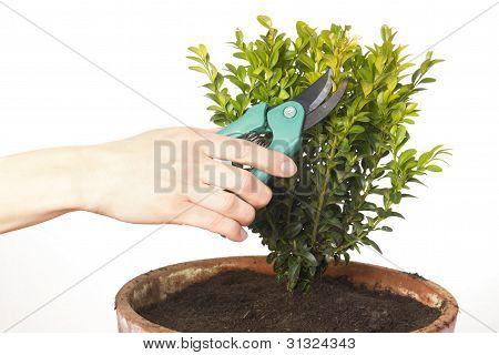 Cutting A Box Tree
