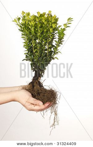 Box tree With Roots