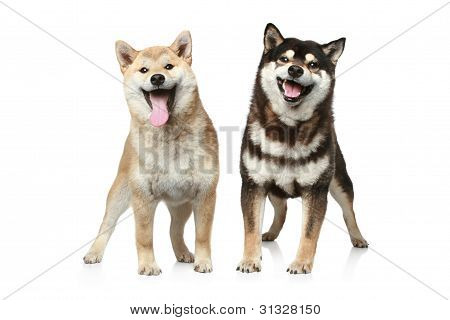 Two Shiba Inu Dogs