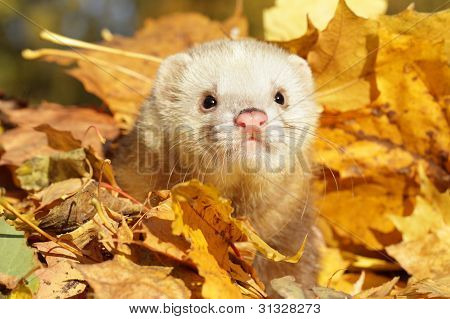 Ferret In Yellow Autumn Leaves