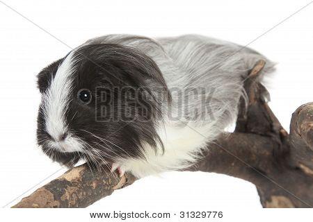 Guinea Pig On White In Studio. Selective Focus