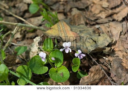 Viola Palustris (marsh Violet) Flowers